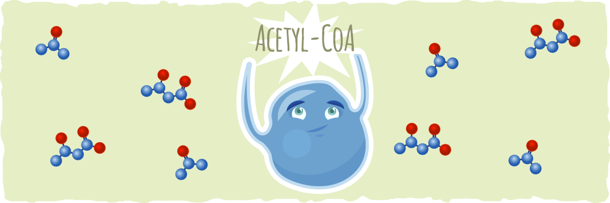 Acetyl-CoA and The Citric Acid Cycle